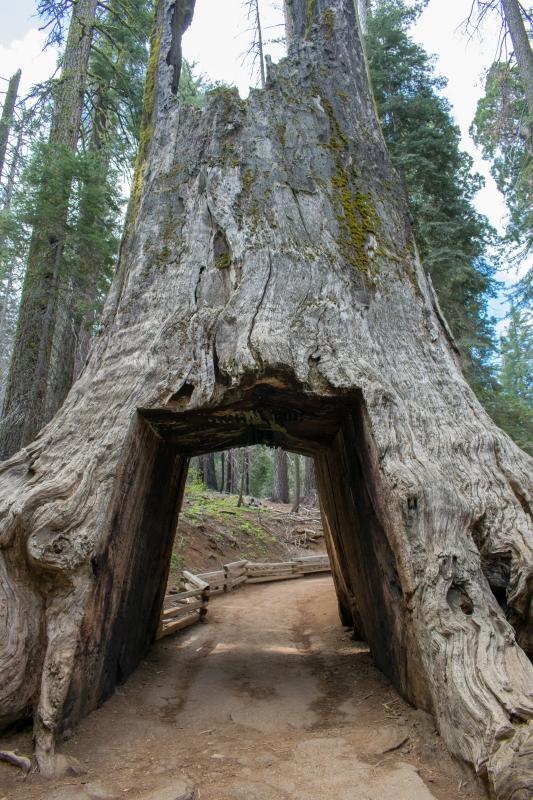 Tuolumne Grove: toter Mammutbaum zum Durchlaufen