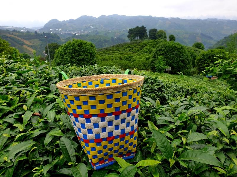 Tee pflücken in der Nähe von Yangshuo
