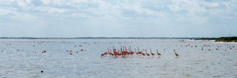 Flamingos in Río Lagartos